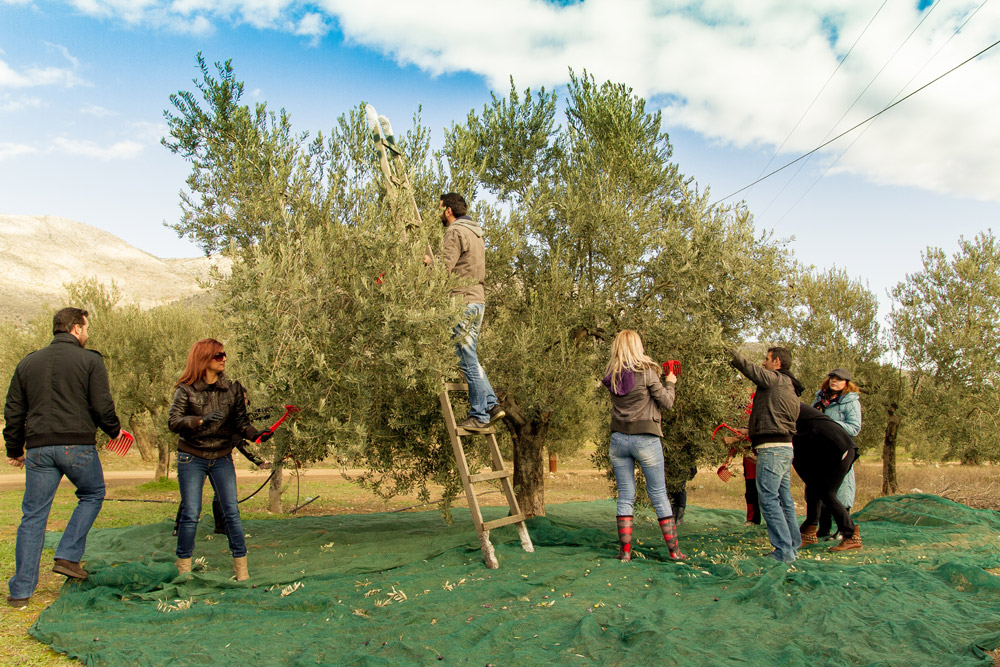 Olive oil collecting in Nafplio
