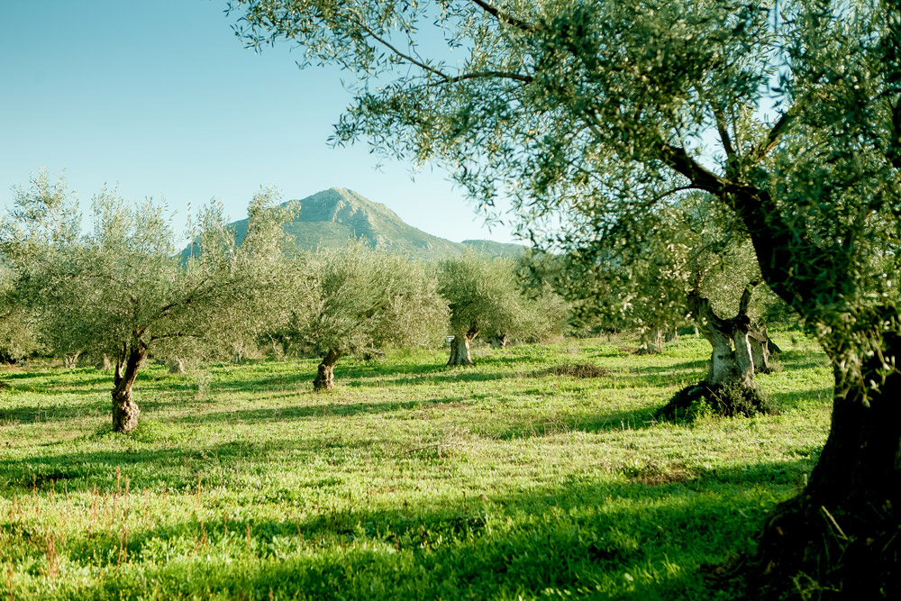 Olive groves of Nafplio